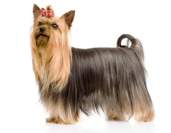 cho-yorkshire-terrier