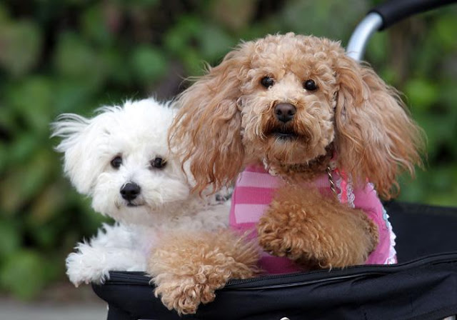 cach-cham-soc-long-va-thuc-an-dinh-duong-cho-poodle_1