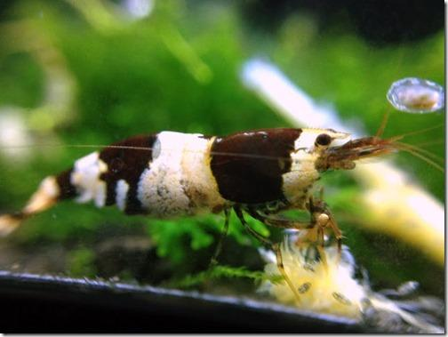 cach-nuoi-tep-ong-den-black-bee-shrimp_1